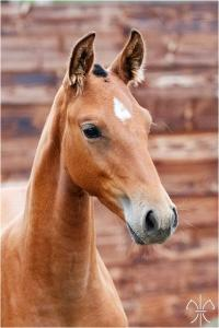 Photo cheval a vendre QANADA DE LA GESSE